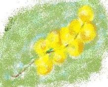 mimosa, flor s�mblo do dia das mulheres