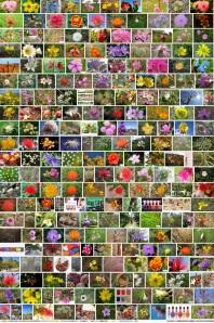 flores do cerrado Brasileiro